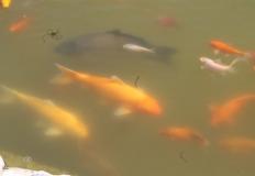 A tó az aranyhalakkal.